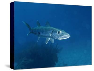 A Barracuda Fish-Wolcott Henry-Stretched Canvas Print