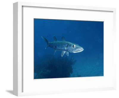 A Barracuda Fish-Wolcott Henry-Framed Photographic Print