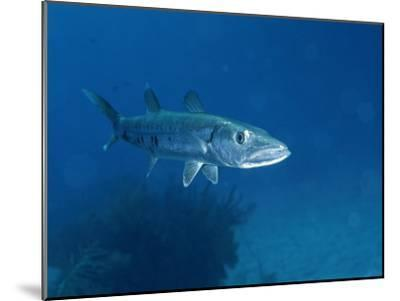 A Barracuda Fish-Wolcott Henry-Mounted Photographic Print