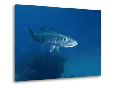 A Barracuda Fish-Wolcott Henry-Metal Print