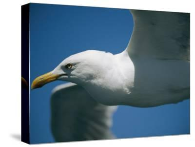 A Close-up of a Seagull in Flight-Todd Gipstein-Stretched Canvas Print