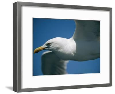 A Close-up of a Seagull in Flight-Todd Gipstein-Framed Photographic Print