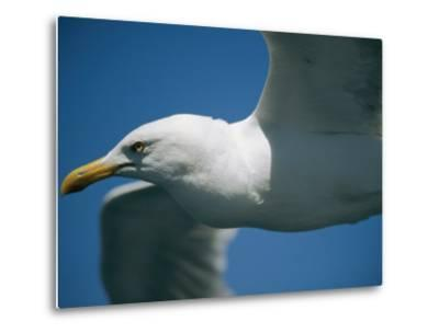 A Close-up of a Seagull in Flight-Todd Gipstein-Metal Print
