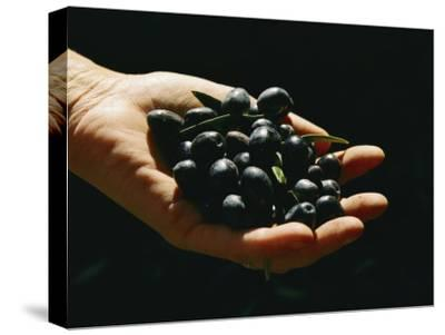 Prized Worldwide, These Fresh Hand-Picked Olives Will Soon Be Made into Oil-Ira Block-Stretched Canvas Print