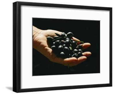 Prized Worldwide, These Fresh Hand-Picked Olives Will Soon Be Made into Oil-Ira Block-Framed Photographic Print