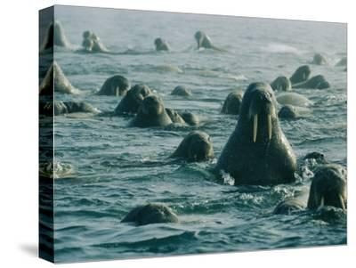 Atlantic Walruses Take a Swim in the Arctic Ocean-Norbert Rosing-Stretched Canvas Print