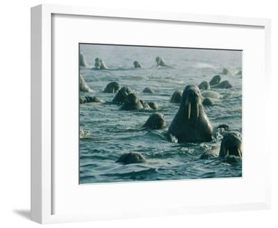 Atlantic Walruses Take a Swim in the Arctic Ocean-Norbert Rosing-Framed Photographic Print