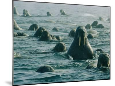 Atlantic Walruses Take a Swim in the Arctic Ocean-Norbert Rosing-Mounted Photographic Print