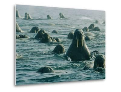 Atlantic Walruses Take a Swim in the Arctic Ocean-Norbert Rosing-Metal Print