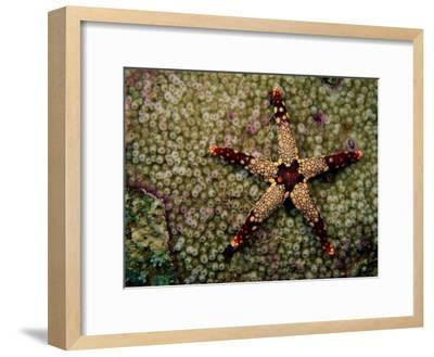 A Red-Tipped Sea Star on a Coral Bed-Tim Laman-Framed Photographic Print