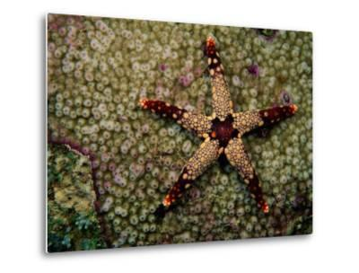 A Red-Tipped Sea Star on a Coral Bed-Tim Laman-Metal Print