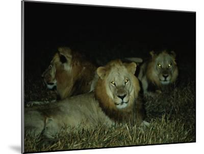 Eyes of Several African Lions Glow from a Strobe Flash in This Night View-Beverly Joubert-Mounted Photographic Print