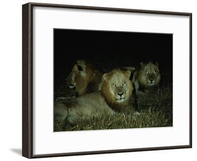 Eyes of Several African Lions Glow from a Strobe Flash in This Night View-Beverly Joubert-Framed Photographic Print