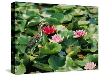 A Green-Backed Heron Sits on a Large Grouping of Lily Pads-Brian Gordon Green-Stretched Canvas Print