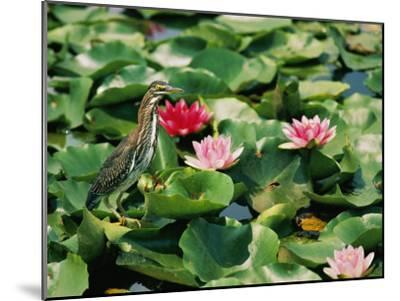 A Green-Backed Heron Sits on a Large Grouping of Lily Pads-Brian Gordon Green-Mounted Photographic Print