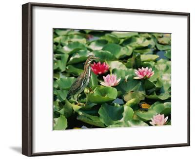 A Green-Backed Heron Sits on a Large Grouping of Lily Pads-Brian Gordon Green-Framed Photographic Print