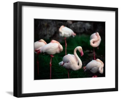 A Group of Flamingos Resting Upon One Foot-Joel Sartore-Framed Photographic Print