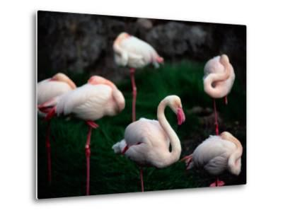 A Group of Flamingos Resting Upon One Foot-Joel Sartore-Metal Print