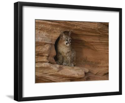 A Young Mountain Lion Rests in a Rocky Niche-Norbert Rosing-Framed Photographic Print