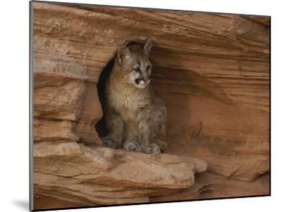 A Young Mountain Lion Rests in a Rocky Niche-Norbert Rosing-Mounted Photographic Print