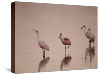 Roseate Spoonbills Stand in Shallow Water, Reflecting the Pink Sunset-Nicole Duplaix-Stretched Canvas Print