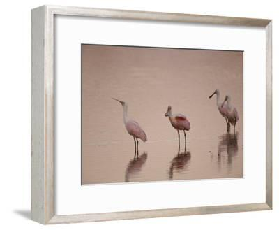Roseate Spoonbills Stand in Shallow Water, Reflecting the Pink Sunset-Nicole Duplaix-Framed Photographic Print
