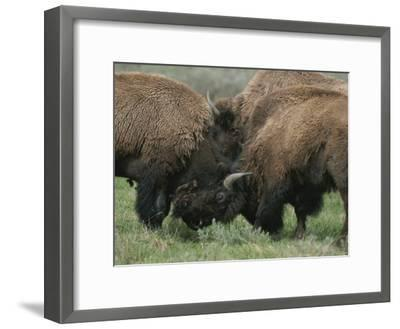 American Bison Spar During the Summer Mating Season-Norbert Rosing-Framed Photographic Print
