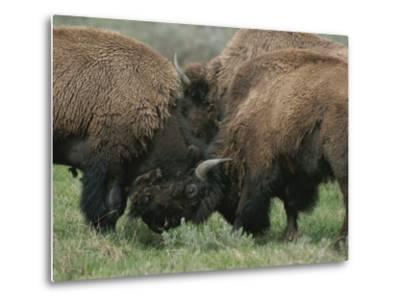 American Bison Spar During the Summer Mating Season-Norbert Rosing-Metal Print