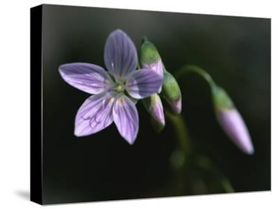 A Spring Beauty Flower in Rock Creek Park-Taylor S^ Kennedy-Stretched Canvas Print