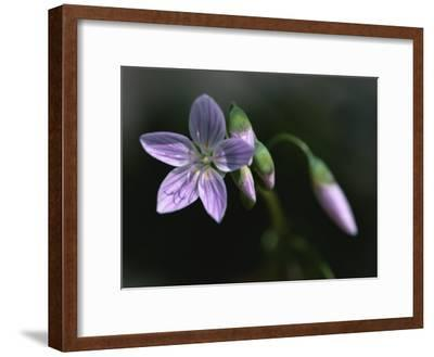 A Spring Beauty Flower in Rock Creek Park-Taylor S^ Kennedy-Framed Photographic Print