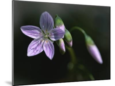 A Spring Beauty Flower in Rock Creek Park-Taylor S^ Kennedy-Mounted Photographic Print