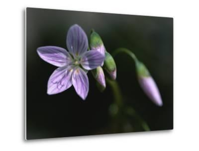 A Spring Beauty Flower in Rock Creek Park-Taylor S^ Kennedy-Metal Print