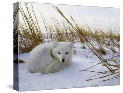 An Arctic Fox Curls up in the Snow for a Nap-Norbert Rosing-Stretched Canvas Print