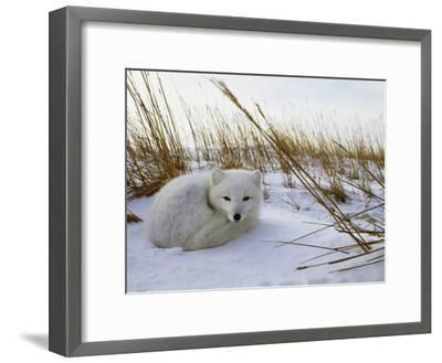 An Arctic Fox Curls up in the Snow for a Nap-Norbert Rosing-Framed Photographic Print
