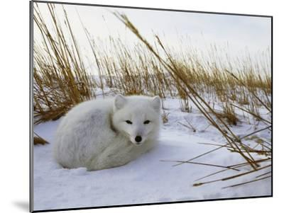 An Arctic Fox Curls up in the Snow for a Nap-Norbert Rosing-Mounted Photographic Print