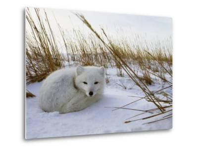 An Arctic Fox Curls up in the Snow for a Nap-Norbert Rosing-Metal Print