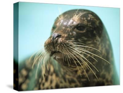 A Whiskery Harbor Seal, Phoca Vitulina-Joel Sartore-Stretched Canvas Print