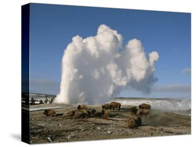 A Group of American Bison Rest Near the Old Faithful Geyser-Tom Murphy-Stretched Canvas Print