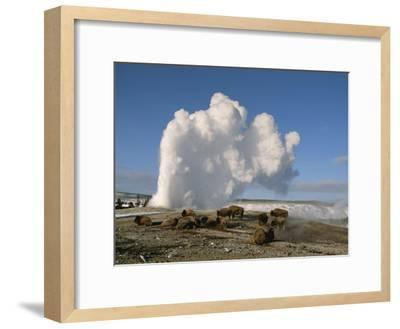 A Group of American Bison Rest Near the Old Faithful Geyser-Tom Murphy-Framed Photographic Print
