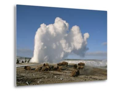 A Group of American Bison Rest Near the Old Faithful Geyser-Tom Murphy-Metal Print