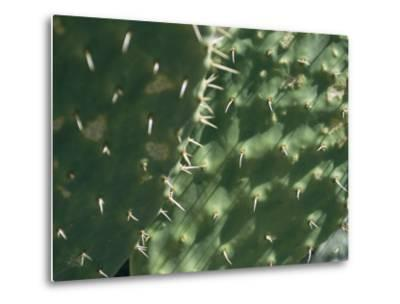 Close-up of a Prickly Pear Cactus in the Desert Sun-Todd Gipstein-Metal Print