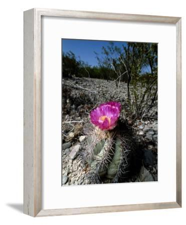A Flowering Barrel Cactus-George Grall-Framed Photographic Print