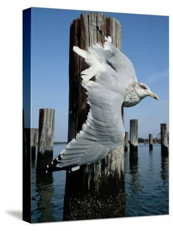 A Herring Gull Flies Among Weathered Pilings-George Grall-Stretched Canvas Print
