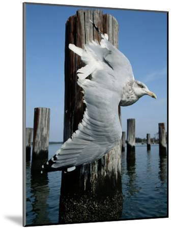 A Herring Gull Flies Among Weathered Pilings-George Grall-Mounted Photographic Print