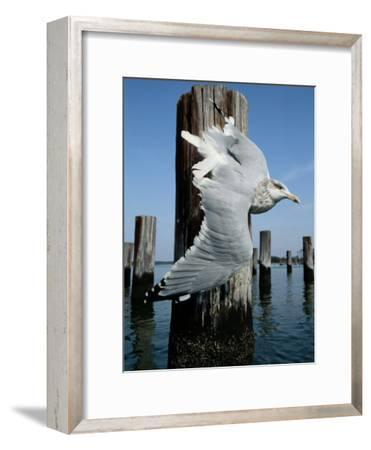 A Herring Gull Flies Among Weathered Pilings-George Grall-Framed Photographic Print