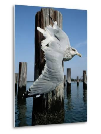 A Herring Gull Flies Among Weathered Pilings-George Grall-Metal Print