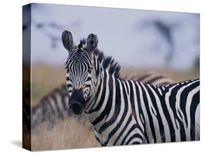 Plains Zebra-Michael Nichols-Stretched Canvas Print