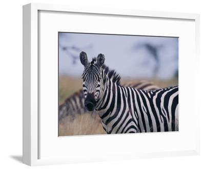 Plains Zebra-Michael Nichols-Framed Photographic Print