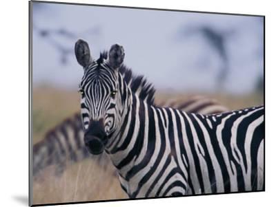 Plains Zebra-Michael Nichols-Mounted Photographic Print