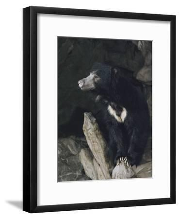 A Sleepy Sloth Bear Takes a Breather Outside its Cave-Joseph H^ Bailey-Framed Photographic Print